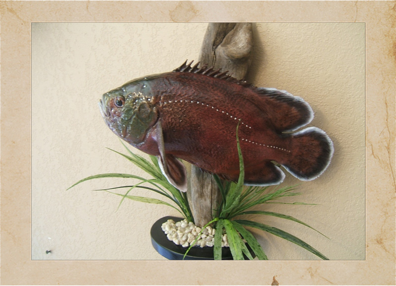 Mn taxidermist tim hidde at trophy time taxidermy in for Fish taxidermy prices